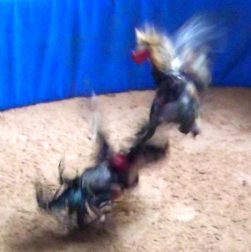 Les combats de coq Comptoir de la Thalande