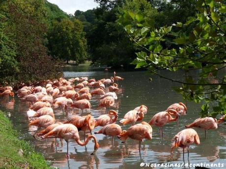 La colonie de flamants roses dans leur étang