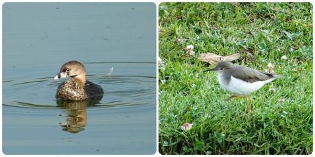 oiseaux au Parque Metropolitano Simon Bolivar : Podilymbus podiceps, Actitis macularius