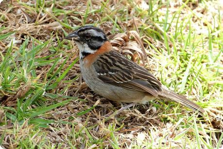 oiseau rencontré au cimetière de Tulcán : Zonotrichia capensis