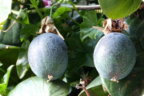 fruit de la passiflore au Santuario de las Lajas de Ipiales