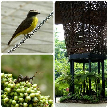 oiseau et punaise au jardin botanique de Medellín : Pitangus sulphuratus