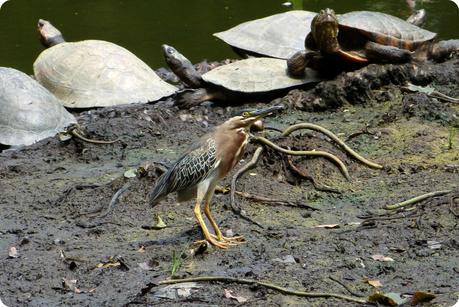 tortues et oiseaux au bord de l'étang du jardin botanique de Medellín : Butorides virescens