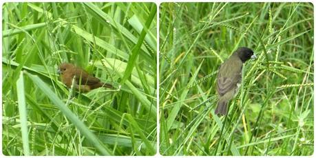 oiseaux (mâle et femelle) rencontrés au Pueblito Paisa de Medellín : Sporophila nigricollis