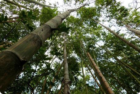 guadua en contre-plongée au jardin botanique de Medellín