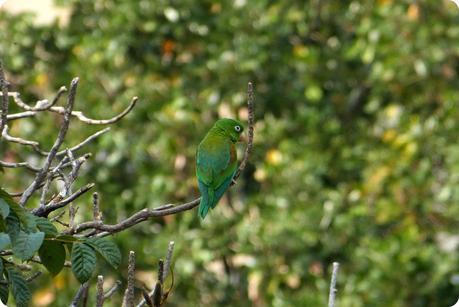 Perruche dans un arbre du centre-ville de Medellín : Forpus conspicillatus