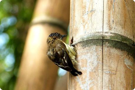 oiseau sur un tronc de guadua au jardin botanique de Medellín