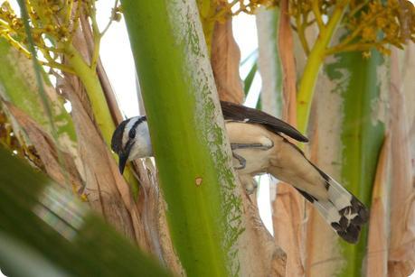 oiseau dans un arbre à Carthagène : Troglodyte bicolore, Campylorhynchus griseus