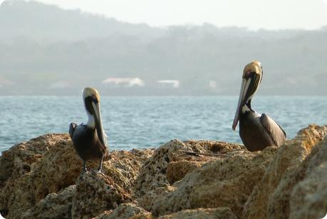 pélicans sur des rochers près de la mer à Carthagène des Indes : Pelecanus occidentalis