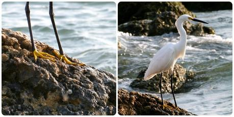 Aigrette sur un rocher près de la mer à Carthagène des Indes : Egretta thula