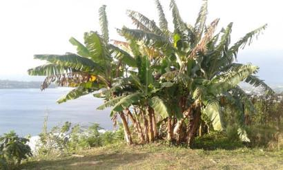 bananiers port-vila