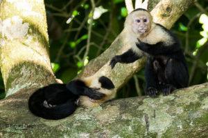 Les singes du Costa Rica