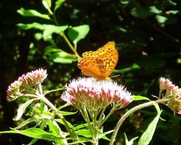 Le Papillon de Lamartine rencontré en Alsace