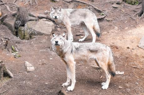 QUÉBEC |Une nuit avec les loups au Parc Oméga
