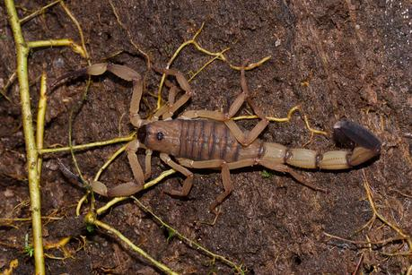 Mythes et vérités sur les scorpions