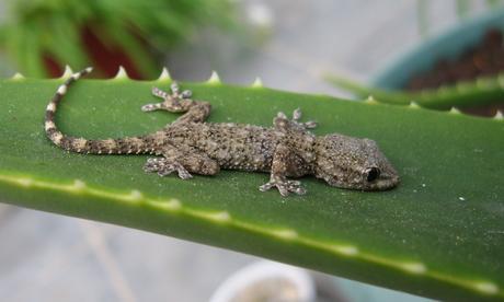 Tout savoir sur le gecko