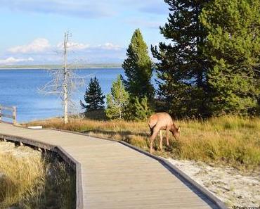 Profiter et observer des animaux en liberté à Yellowstone
