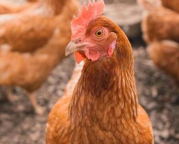 06 mai – Marché ou fiente de poulet?