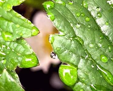 Il pleut il pleut bergère rentre ton fraisier